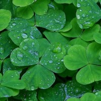ireland_green_shamrocks